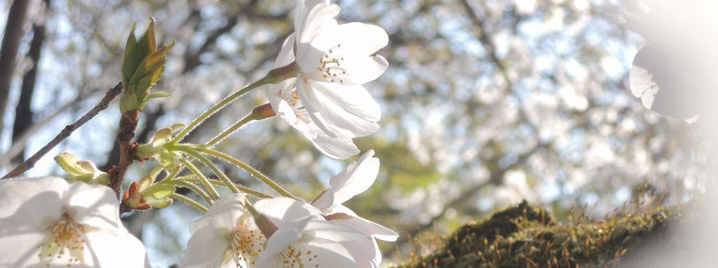 「桜雲」イメージ